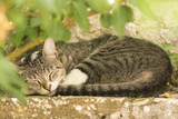 Tabby cat sleeping outdoors in a green environment in a garden