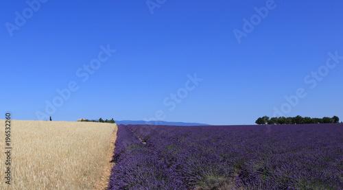 Fotobehang Lavendel champs de cultures typiques du Lubéron