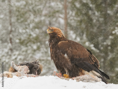 Fotobehang Eagle Golden eagle rips pieces of meat from icy carcass of a deer in snowfall