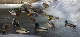 wild ducks mallards winterings in the open water in the middle of the ice next to a small waterfall - 196536442