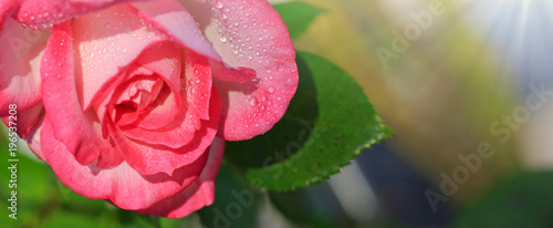 Pink rose isolated on gray. - 196537208