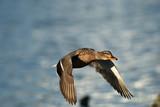 Mallard duck beautifully colored bird in flight in the Polish sky - 196547477