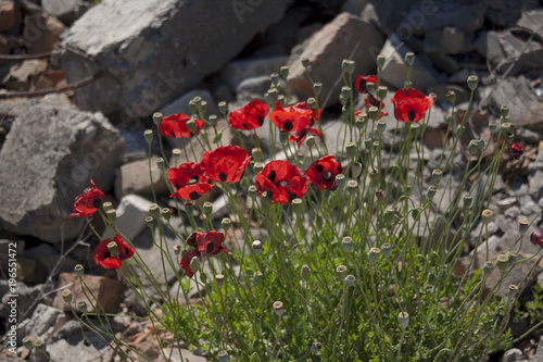 Staande foto Klaprozen Poppies.