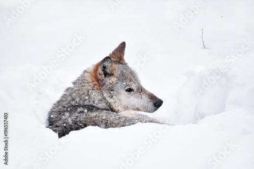 Fotobehang Wolf Grey wolf resting in deep snow winter den lair