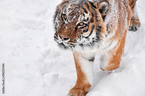 Aluminium Tijger Close up portrait of Siberian tiger in winter snow