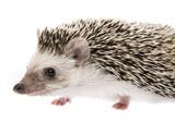 Four-toed Hedgehog (African pygmy hedgehog) - Atelerix albiventris - 196558026