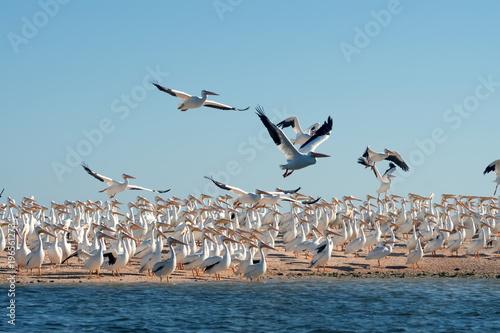 Colony of white pelicans (Pelecanus erythrorhynchos). Take-off birds. State of Florida, Gulf of Mexico, USA
