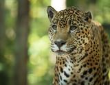 Fototapeta leopard has spotted something