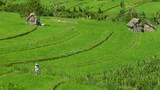 People work in a lush terraced rice field. - 196581858