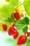 garden raspberries wits strawberries