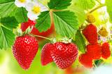 gardening strawberries and raspberries