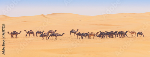 Foto op Aluminium Dubai Camels in the Empty Quarter