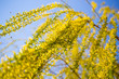 Yellow flowers on willow branches in spring