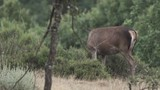 Female deer twisting neck and feeding in the bush - 196596668