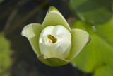 Elegant white lily flower (lotus) in water. The lotus flower (water lily) is a national flower for India. Symbol in Asian culture