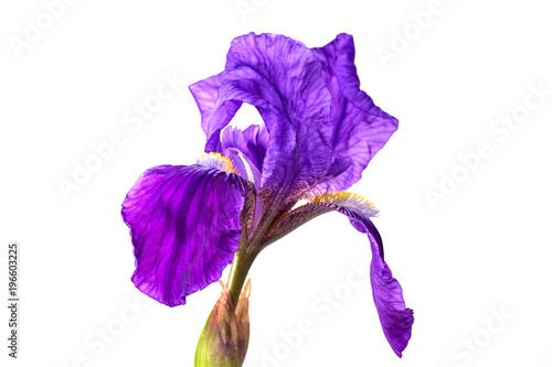 Fotobehang Iris Iris flower isolated
