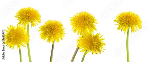 Fototapeta Taraxacum yellow flowers on white background