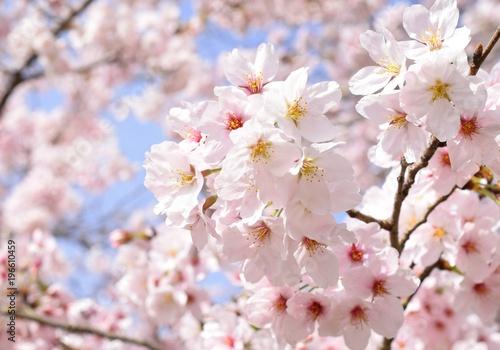 Deurstickers Lichtroze 満開の桜と青空、クローズアップ