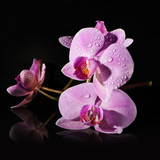 twig Orchid on a black background. dew drops on the petals.