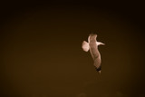 Sea gull in flight on a dark background.