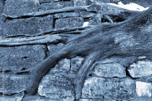 Tree roots cling to stone stairs in wintertime
