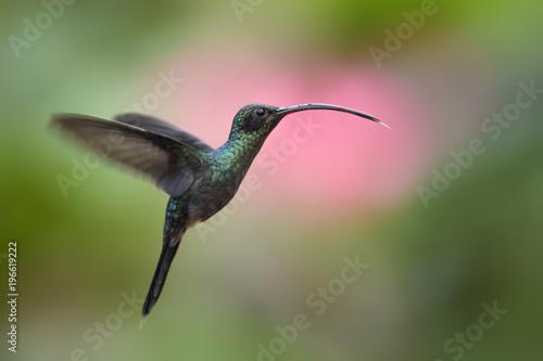 Zielony Pustelnik - Phaethornis facet, piękny zielony długo dziobał hummingbird z Kostaryki La Paz wodospad.
