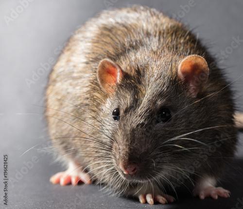 animal gray rat - 196628425