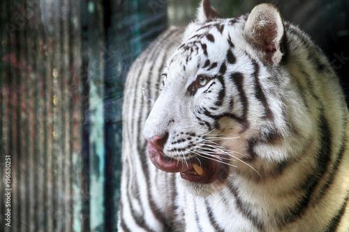 Foto op Plexiglas Panter white tiger head