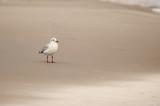Mewa stojąca na piasku, plaża w pochmurny dzień, Morze Bałtyckie - 196642668