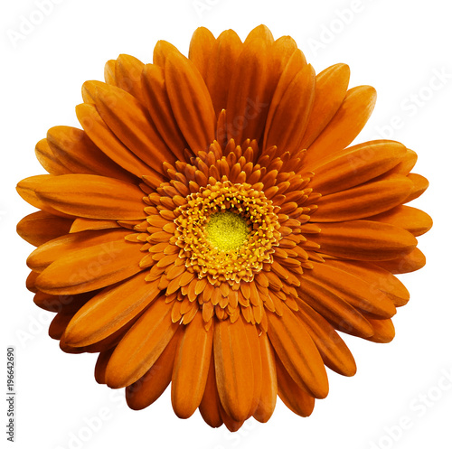 Fotobehang Gerbera Orange gerbera flower, white isolated background with clipping path. Closeup. no shadows. For design. Nature.