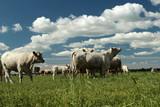 viele Rinder und Jungrinder auf der Weide