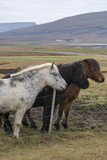 Three beautiful different color icelandic horses standing behind wire fence - 196646481
