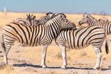 Zebras necking