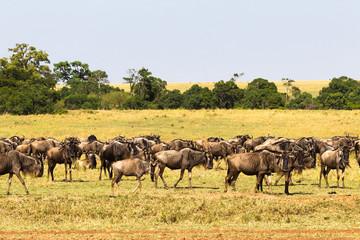 Small herd of wildebeest in savanna. Masai Mara, Kenya