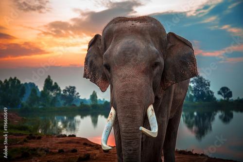 tajski-slon