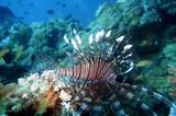 Indischer Rotfeuerfisch (Pterois miles) - 196661609