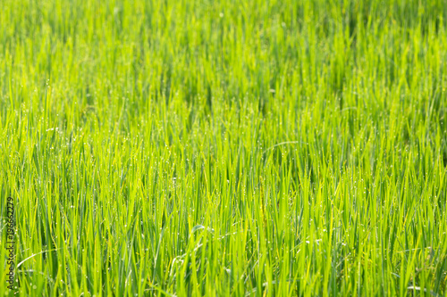 Foto op Canvas Lime groen Rice field with dew drop