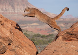 A young cougar jumping from one red sandstone boulder to another with a southwestern desert and mesa in the background - 196664213
