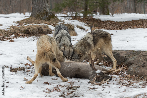Trio of Grey Wolves (Canis lupus) at White-Tail Deer Carcass