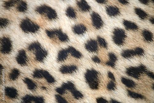 Fototapeta Leopard print close up