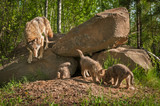 Grey Wolf (Canis lupus) Mother with Pups at Den