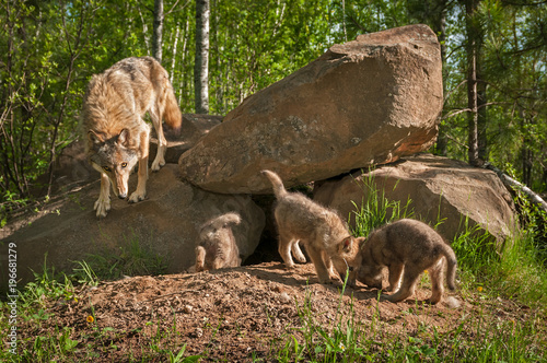 Grey Wolf (Canis lupus) Mother with Pups at Den - 196681279