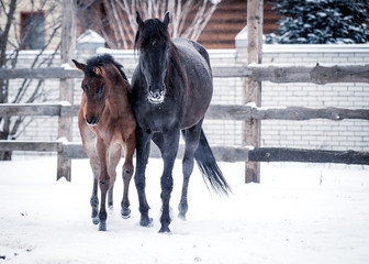 Foal walks with his mother in the snowy winter