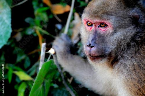 Wall mural Rhesus macaque monkey, Indonesia