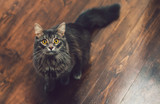 Surprised gray black, fluffy, tabby Siberian cat with big yellow eyes and long mustache on the craft wooden floor. Free space background. Close up portrait