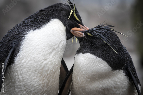 Fotobehang Pinguin Rock Hopper penguins at a rookery in the Falkland Islands