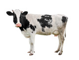 Spotted black and white cow full length isolated on white. Funny cute cow isolated on white. Young cow, standing full-length in front of white background and looking at the camera. Farm animals.