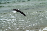 flying seagull with black feathers - 196747477