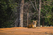 Tiger resting in Tadoba National Park in India
