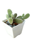 healthy cactus in pot on white background